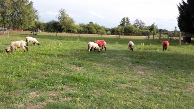 Schafe_2