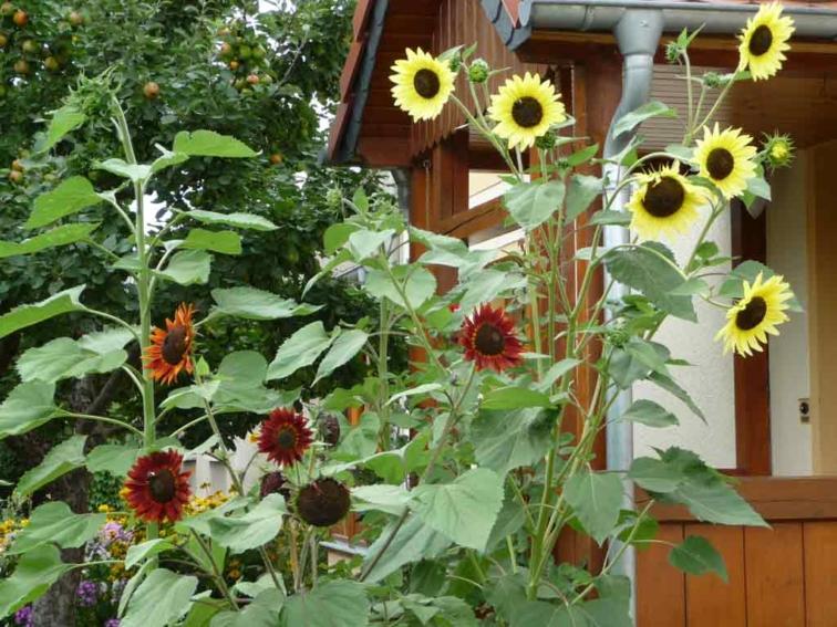 Sonnenblumen_vor_dem_Haus